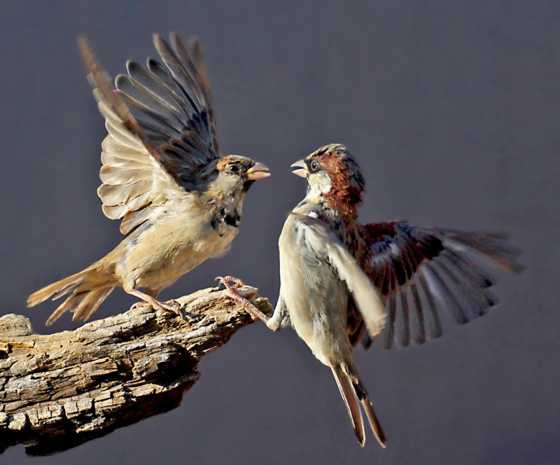 Sparrow confrontation